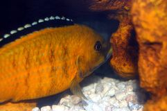 Colorful Cichlid. Electric yellow cichlid next to orange rock with white gravel Stock Images