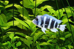 Colorful cichlid Royalty Free Stock Photo