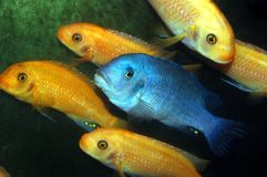 Colorful Cichlids. A Group of tropical fish, blue and yellow African Cichlids schooling Royalty Free Stock Photography