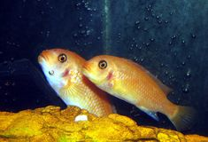 Colorful Cichlids Royalty Free Stock Photography