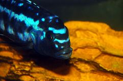 Colorful Cichlids Stock Image