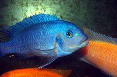 Colorful Cichlids. Blue Cichlids with orange cichlids Stock Images