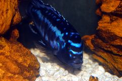 Colorful Cichlids Royalty Free Stock Image