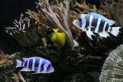 Colorful cichlids Royalty Free Stock Images