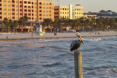 Colorful Clearwater Beach Pelican Stock Image