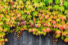 Colorful climbing plant Stock Photos