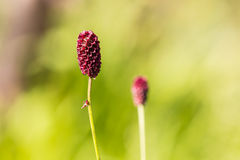 Colorful closeup  red sanguisorba officinalis in garden Royalty Free Stock Images