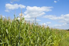 Colorful cloudscape and field. Colorful cloudscape and corn field Royalty Free Stock Photography