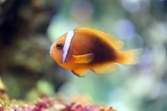 Colorful clown fish in undersea. Royalty Free Stock Images