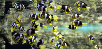 Colorful clown fish in undersea. Stock Image