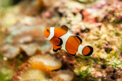 Colorful clownfish Stock Photography