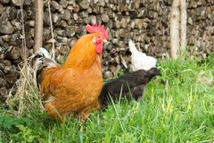 Colorful cock in the grass on the background of the palancers, white and black hens pecking green grass. Breeding poultry in the village Royalty Free Stock Photography