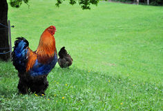 Colorful cock on a meadow Stock Image