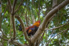 Colorful cock seating on a tree branch on the farm in Hawaii royalty free stock photo