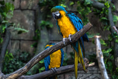 Colorful cockatoo parrot. With selective focus Stock Image
