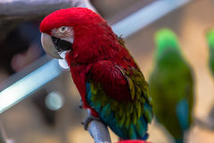 Colorful cockatoo parrot. With selective focus Stock Photos