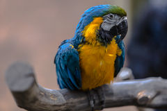 Colorful cockatoo parrot. With selective focus Royalty Free Stock Photo