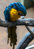 Colorful cockatoo parrot. With selective focus Royalty Free Stock Image