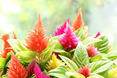 Colorful cockscomb flower in soft mood Royalty Free Stock Photo