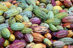 Colorful cocoa pods Stock Photography