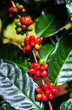 Groups of colorful coffee beans on coffe tree. Colorful coffee cherries on tree branch in the garden,Thailand Royalty Free Stock Images