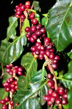 Red coffee beans Stock Image