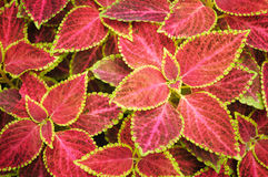 Colorful Coleus background Stock Images
