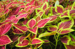 Colorful Coleus background Royalty Free Stock Images