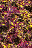 Colorful Coleus Royalty Free Stock Image
