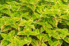 Colorful coleus leaf plant Stock Image