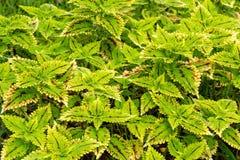 Colorful coleus leaf plant Stock Image