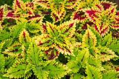 Colorful coleus leaf plant Stock Photos