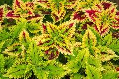 Colorful coleus leaf plant Stock Photos