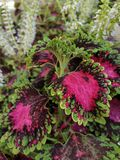 Colorful Coleus leaves and flowers in tropical style garden royalty free stock photos