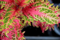 Colorful coleus leaves Royalty Free Stock Photography