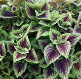 An outdoor planting of sun tolerant coleus. Colorful Coleus make a beautiful outdoor planting Royalty Free Stock Photos