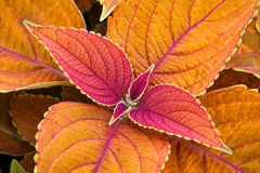 Colorful Coleus Royalty Free Stock Images