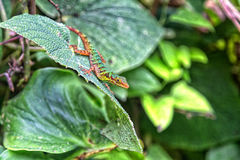 Colorful Colombian Lizard Stock Photography