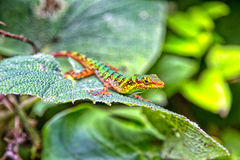 Colorful Colombian Lizard. In Santa Rosa de Cabal Stock Images