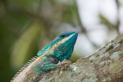 Colorful color of gecko on tree branch. Royalty Free Stock Photo