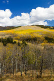 Colorful Colorado Aspen Forest in Fall Stock Photo