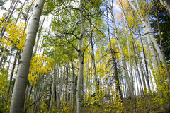 Colorful Colorado Aspen Trees in the Fall. A photo of some colorful aspen trees taken in the Never Summer Mountains in Northern Colorado.  It was Autumn and the Royalty Free Stock Images