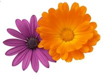 Colorful Combination. Purple Osteospermum and Orange Calendula officinalis Royalty Free Stock Images