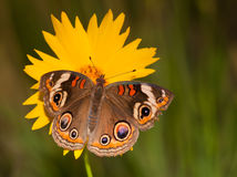 Colorful Common Buckeye butterfly Stock Photography