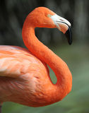 Colorful common flamingo close up side profile Stock Photo