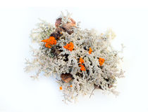 Colorful components for floristic composition - fine mosses and red mushrooms. Dwarf pine, lichen, moss, evergreens for the preparation of herbal compositions ( Royalty Free Stock Images