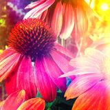 Colorful coneflower Stock Photography