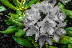 Colorful contrast bouquet rhododendron purple tinted gray flower growing on a background of green leaves in the light sunlight. Close-up design flora royalty free stock photo