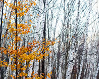 Colorful Contrast. Bright golden yellow autumn leafs standing out in sharp, colorful contrast against a grove of black and  white birch trees Royalty Free Stock Photography