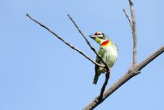 A colorful Coppersmith Barbet Stock Photos